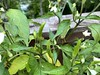 Thai Chili Plant