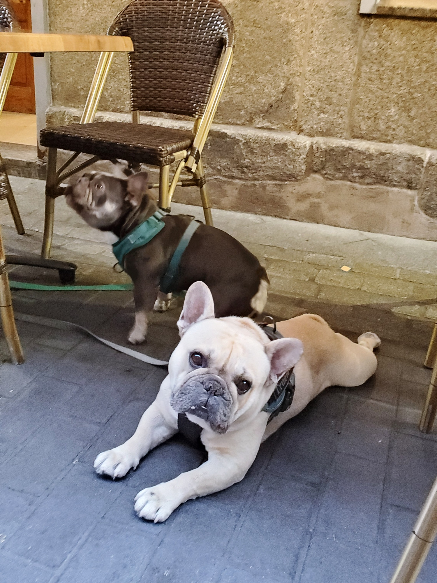 frenchie dogs