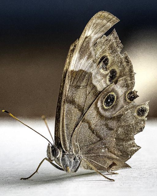 Caroline Satyr (Hermeuptychia sosybius)