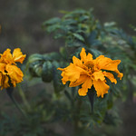 The last of the marigolds