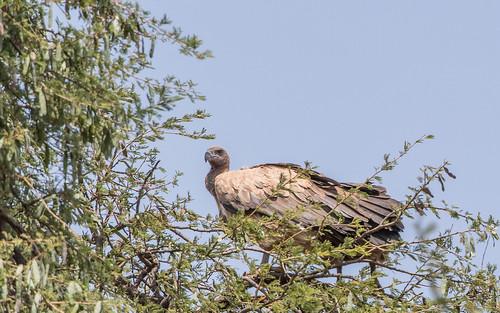 White-backed vulture - Gyps africanus - Afrikaase witruggier