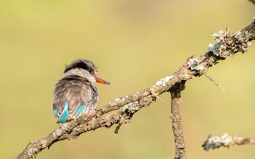 Striped kingfisher - Halcyon chelicuti - Gestreepte ijsvogel