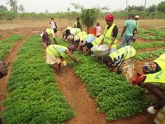 Récolte de légumes sur un site de maraichage SGP Togo