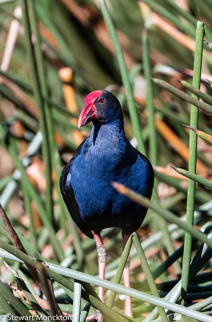 Australasian Swamphen (aka: Purple Swamphen)