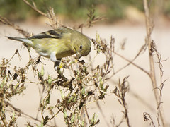 Goldfinch Snack