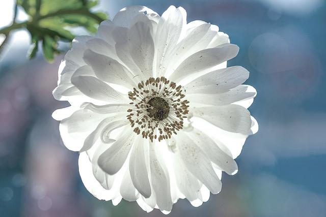 Back lit white ranunculus