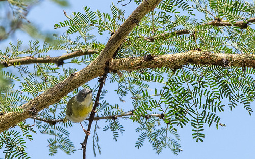 Yellow-breasted apalis - Apalis flavida - Geelborstapalis