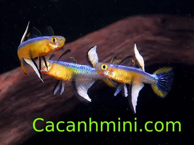 Cá Cầu Vồng Cánh Buồm ngoại hình và màu sắc cực đẹp