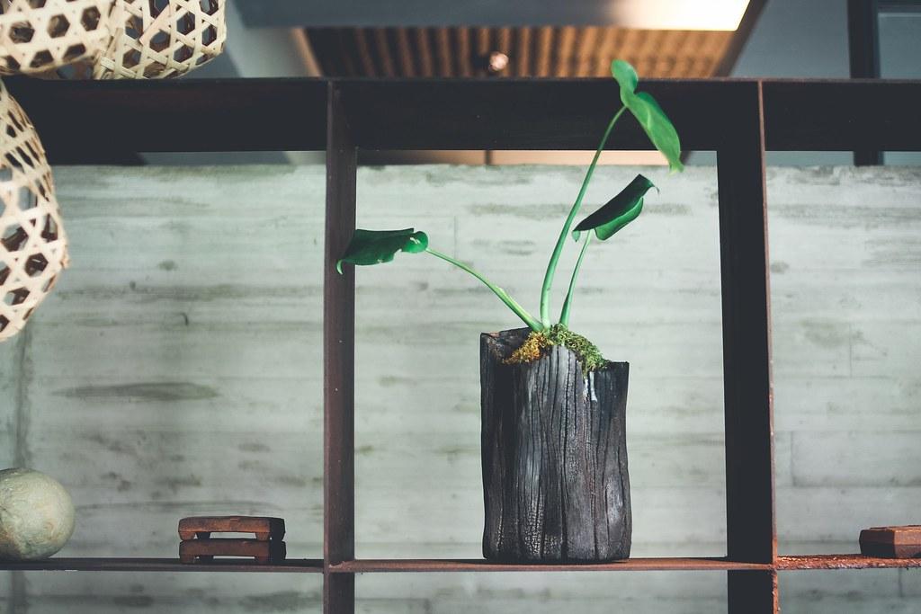 圖3栽植小天使蔓綠絨的相思木炭盆栽