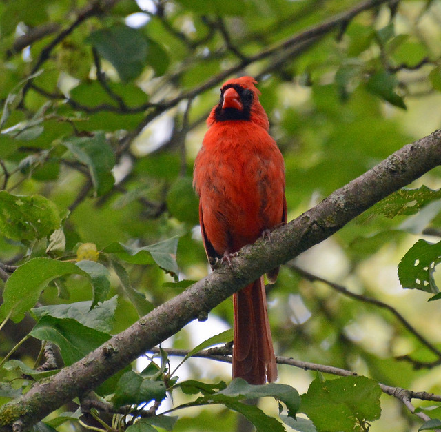 Cardinals in the apple tree