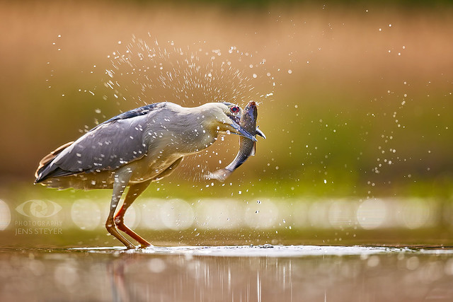 A greedy night heron (Nycticorax nycticorax) with its catch  ·  ·  ·   (R5B_4495.jpg)