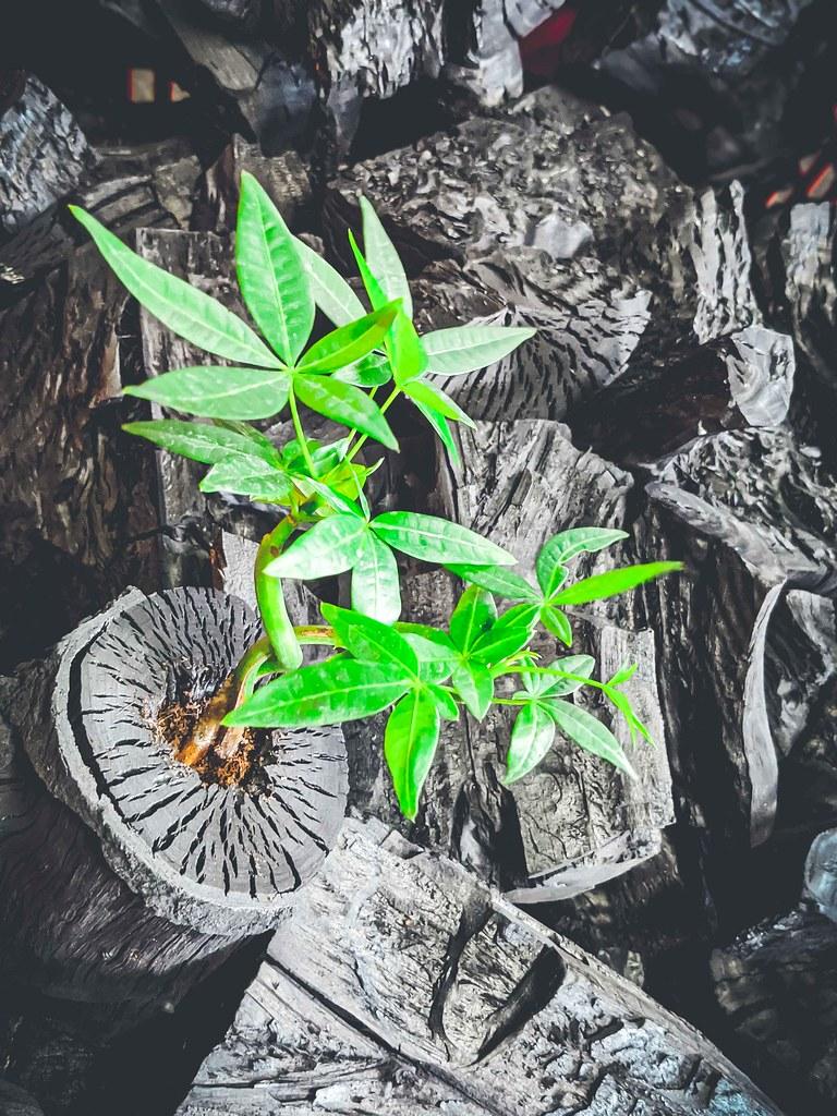 圖2栽植馬拉巴栗的龍眼木炭盆栽