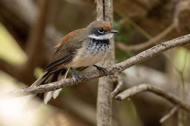 Arafura Fantail. Lee Point, Darwin NT AUS