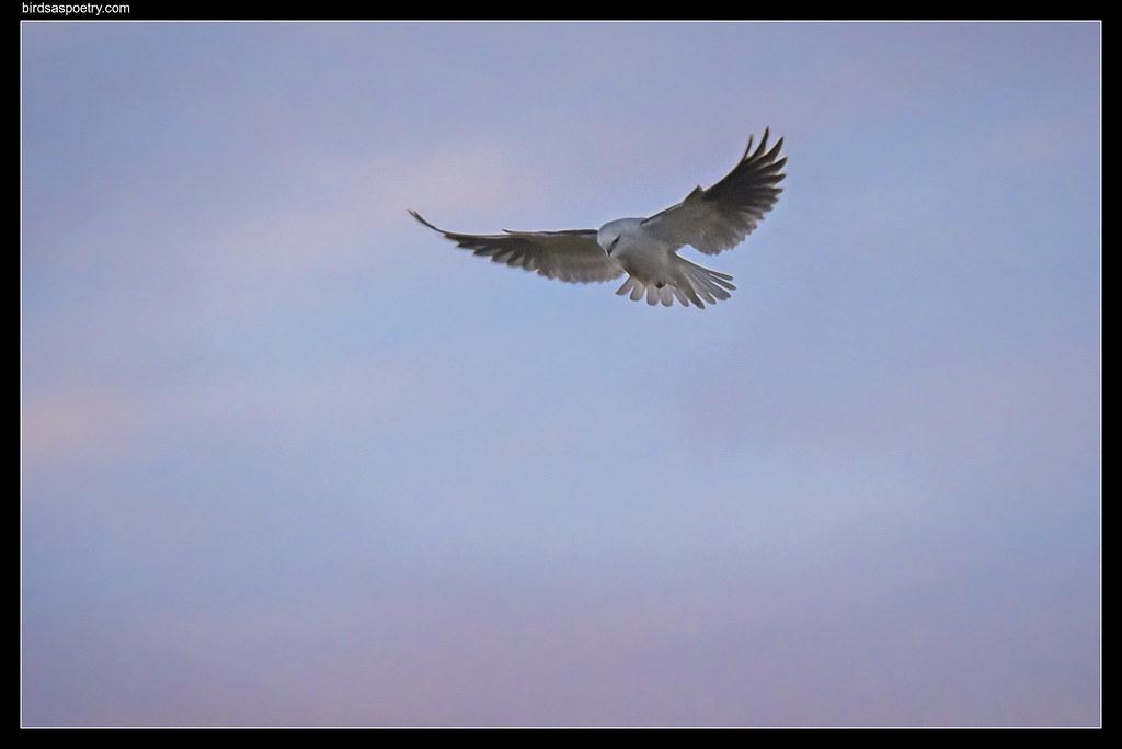 Black-shouldered Kite: First Light Hunt