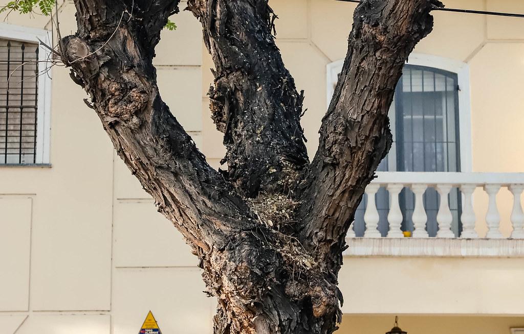 2021-09-10 Prueba piloto en árboles enfermos-Laprida y Santiago del Estero