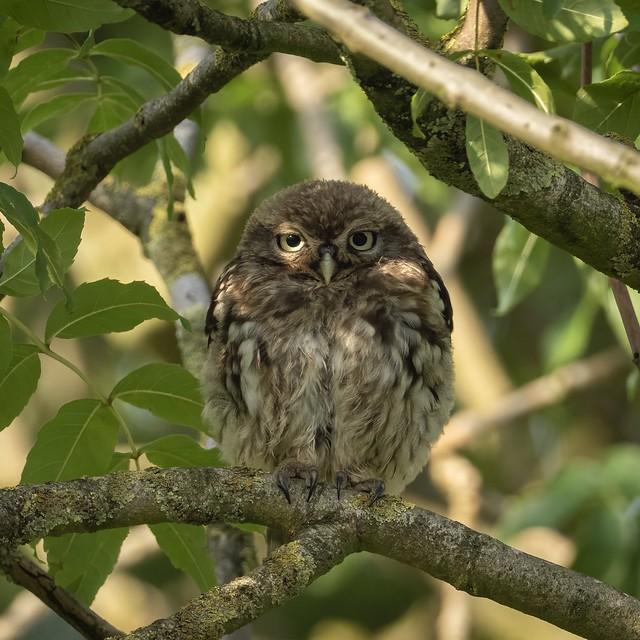 Dappled Little Owl