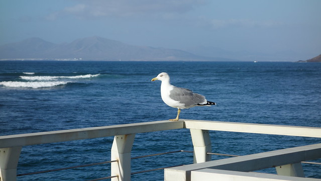 Seagull watching Lanzarote. Canary Islands. Spain