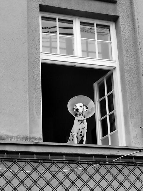Dalmatian dog on a window