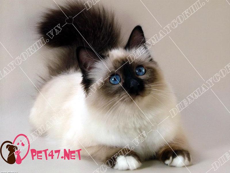 Những điều cần biết về mèo thần miến điện Birman