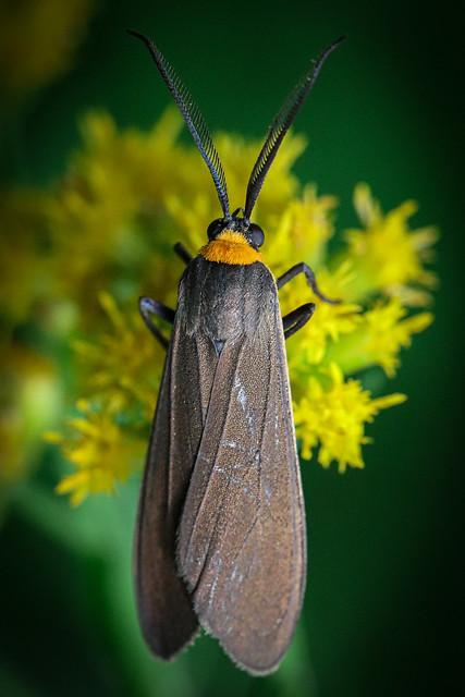 Scape Moth