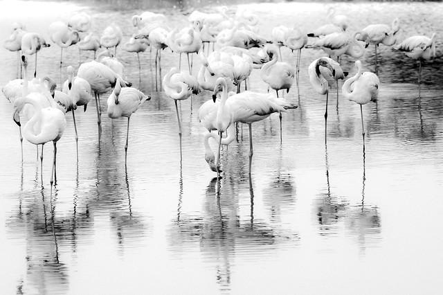Flamingos - Camargue