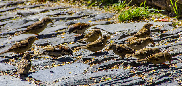 Multitud pardalenca /  A lot of sparrows