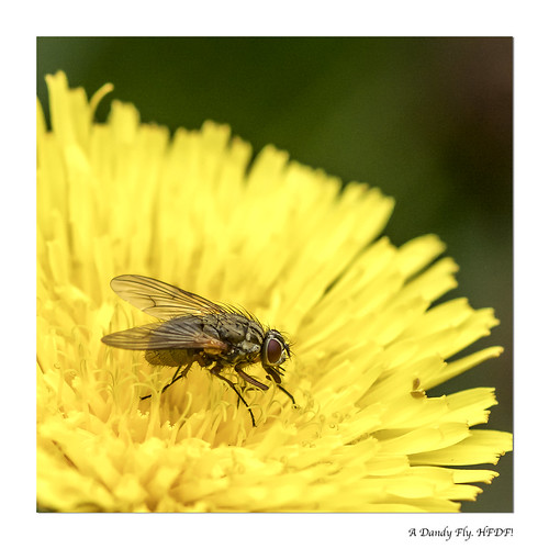 A Dandy Fly
