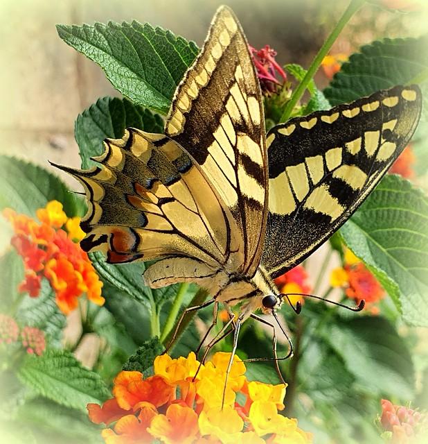 Butterfly of September