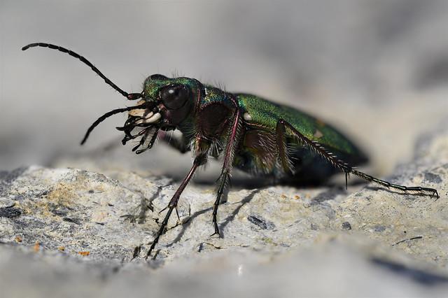 Late Season Tiger Beetle (Cicindela campestris)