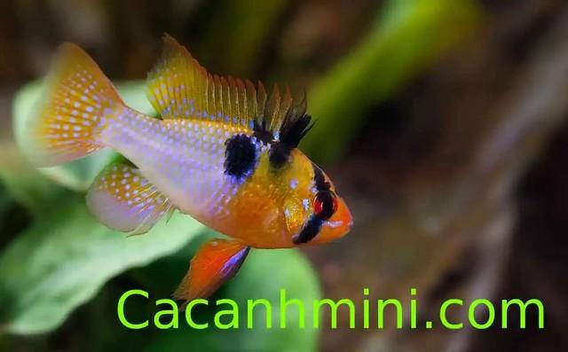 Cá Phượng Hoàng Bolivia cá thủy sinh màu sắc đẹp