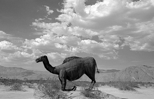 Camelops at Galleta Meadows (7)