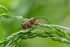 The acorn weevil