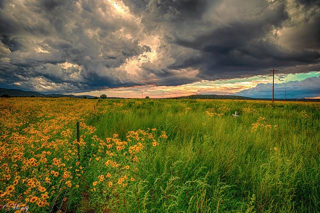 Sunflowers, Concho, Arizona (explore 11Sep21)