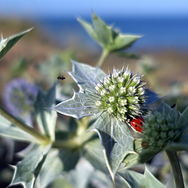 Coccinelle de Mer - Sea Ladybird