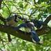 Blue Jays 1
