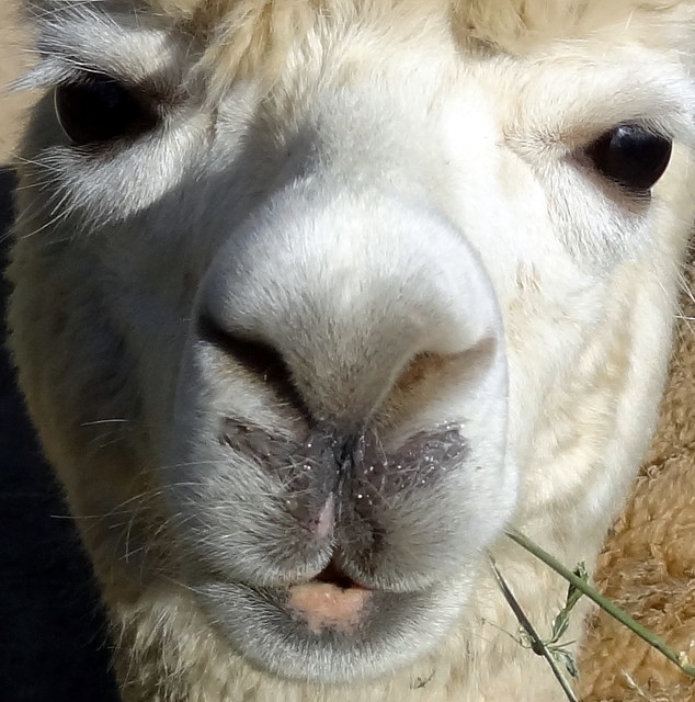 Nosy alpaca