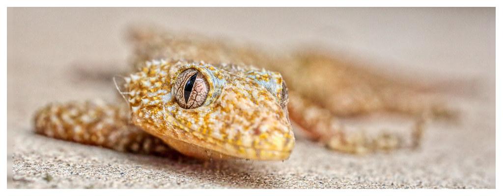 Southern Leaf-Tailed Gecko (2)