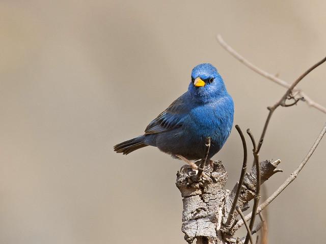 Blue Finch (Porphyrospiza caerulescens), male