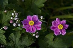 Dos flores