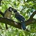 Blue Jays 2