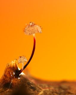 Marasmius hudsonii