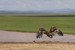 Hawk Flying on the Mongolian Steppe Crop 1B