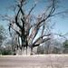 ZW Victoria Falls biggest baobab tree - 1965 (W65-A72-23)