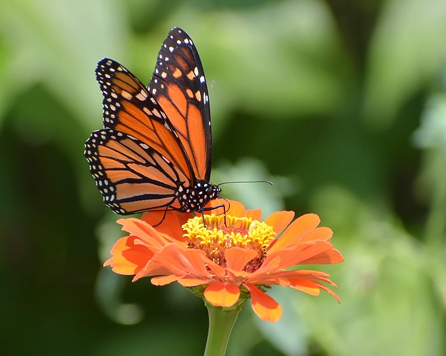 Monarch butterfly in the zinnia garden