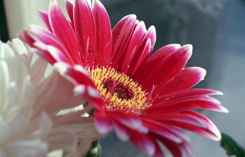 Minolta 500si Red Flower