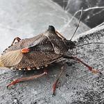 Forest Bug ( Shield Bug ) - Morpeth