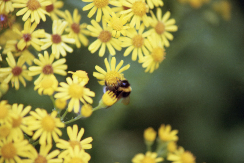 Minolta 500si Missed Bee