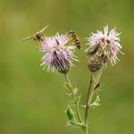 Hover Flies on Thistle Head