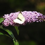 Large White Butterfly - Male