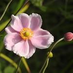Dog Rose Flower and Bud - Morpeth